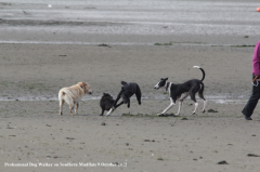 Professional dog-walker on southern mudflats October 2012