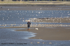 Walking the dog on southern mudflats