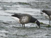 Grey-bellied Brant