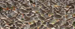Redshanks roosting