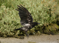 Hooded x Carrion Crow hybrid