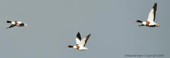 Shelducks