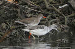 Greenshank and Redshank