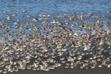 Knot and Bar-tailed Godwits